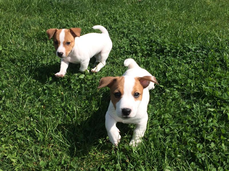 Allevamento Cani Jack Russel e vendita cuccioli di razza