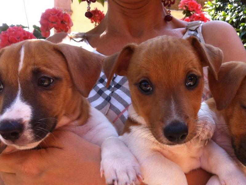 Allevamento Cani Jack Russel E Vendita Cuccioli Di Razza La