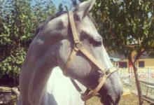 _cavalli_3